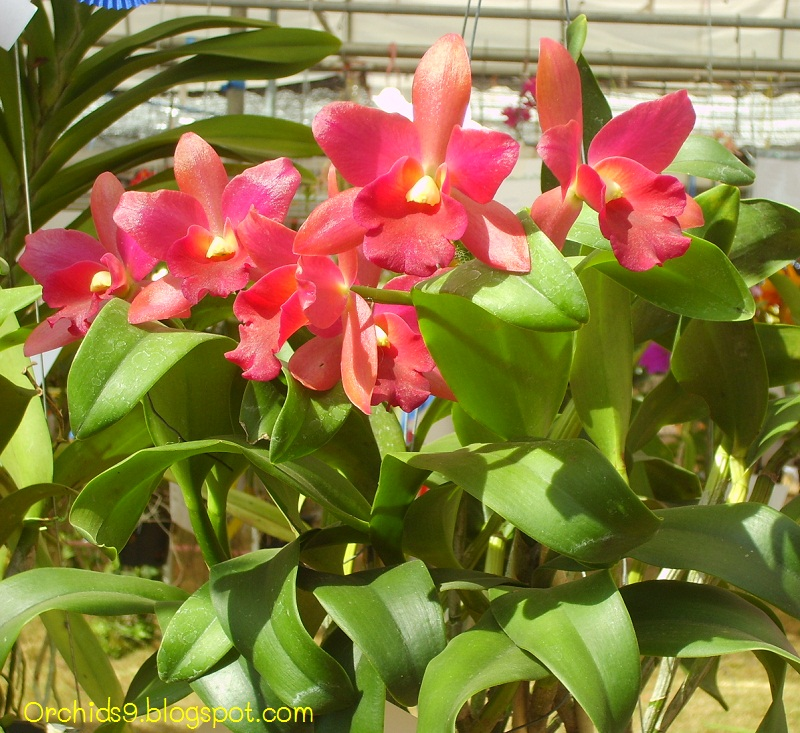 Care of Cattleya Orchids Cattleya Orchid Flower Picture