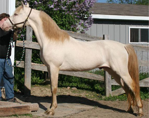 Perlino quarter horse stallion - photo#22