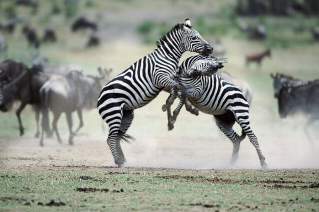 Funny Cool Pictures: Animal Fights