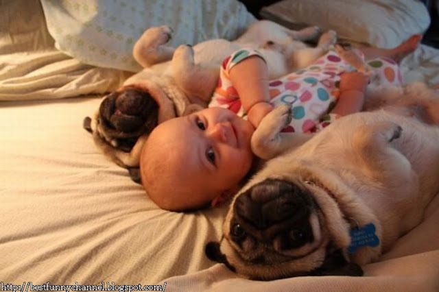 Funny baby and two pugs.