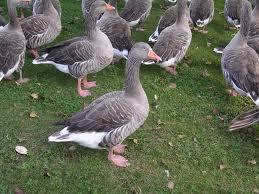 Que significa soñar con patos