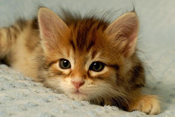 Natura animali la genetica dei colori nei gatti for Buongiorno con gattini