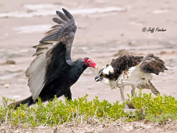 Osprey and Turkey Vulture Face Off