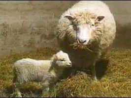 Dolly la oveja clonada y su hija Bonnie