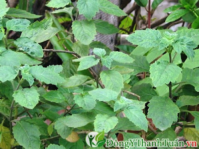 Hoắc hương là cây thuốc chữa viêm mũi dị ứng nhanh khỏi