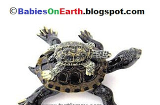 Baby Diamondback Terrapin