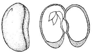 Struktur-biji-dikotil-2