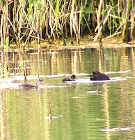 Fledgling American Coots
