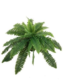Herbario virtual 7 jardines 7 valores jardin solidaridad for Planta ornamental helecho nombre cientifico