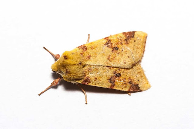 The Sallow Moth - Photographed in Milton Keynes