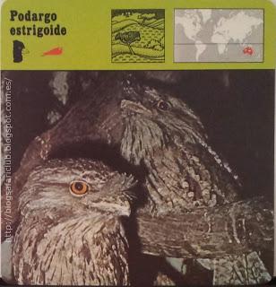 Blog Safari Club, el Podargo estrigoide, inmóvil parece un trozo de madera seca