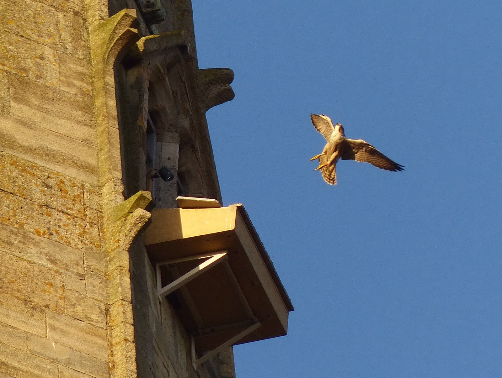 Peregrine at Norwich Cathedral Platform