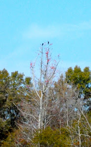 OK, so they look like vultures.  I'm calling them eagles Can you see then?.