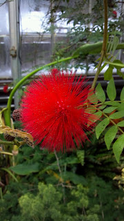 red powderpuff flower on a branch