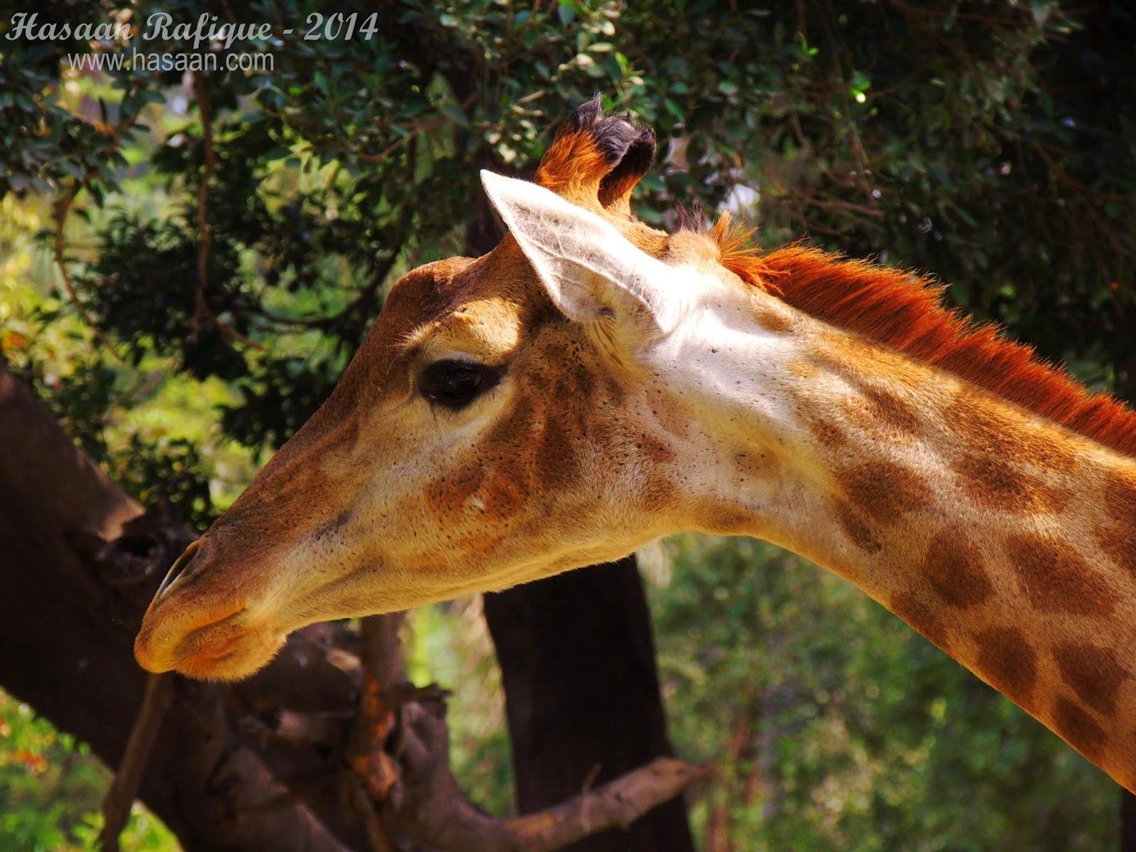 A giraffe seen from up-close.