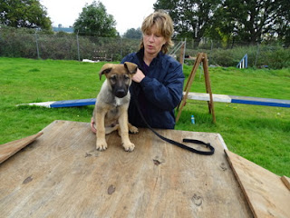 German Shepherd puppy with walker