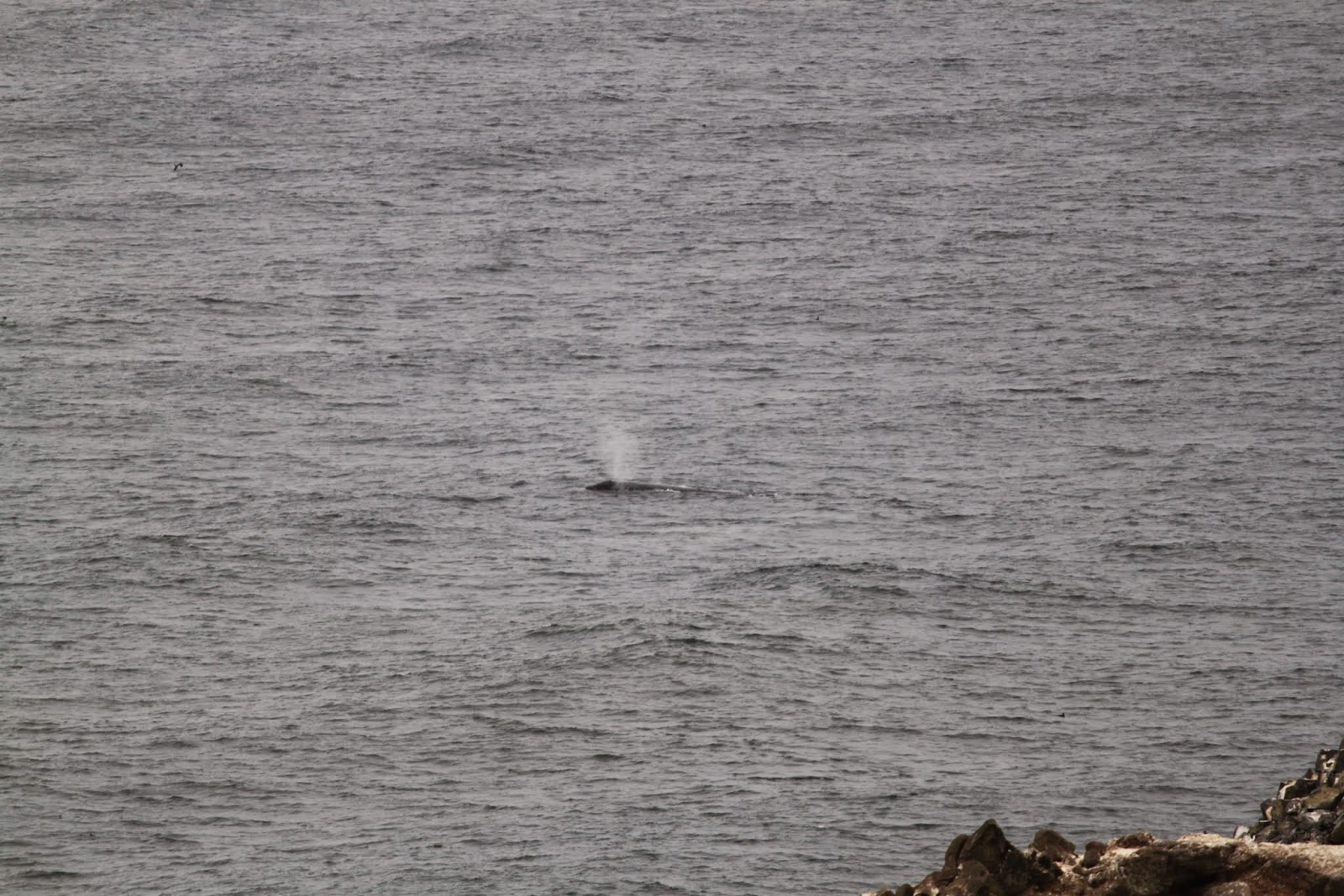whale in the bay at Heceta Head