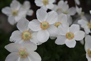 White Flowers in Breckenridge Alpine Garden