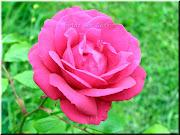 Rosa Rosa. Flor. Etiquetas: Flores. Publicado por Marisa en 4/26/2012 (naturaleza)