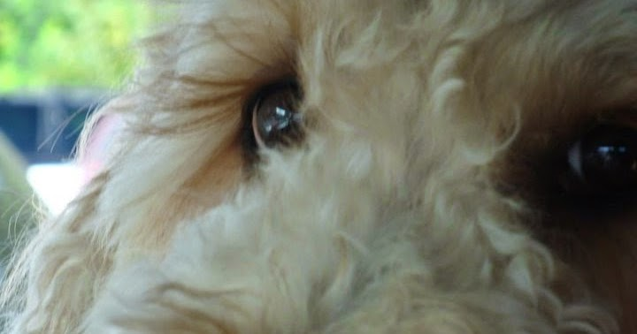 Can Dog Pink Eye Contagious Humans