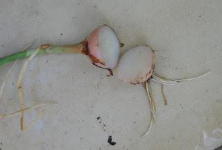 explicación de porque las cebollas hacen llorar