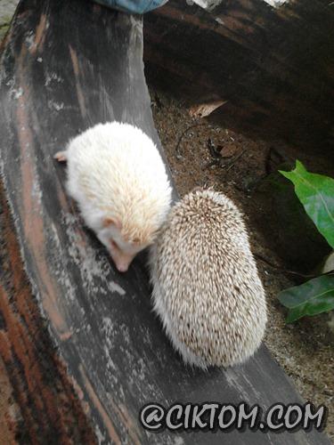 Hedgehod yang super duper cute!