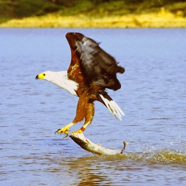 an African Fish Eagle Dragging