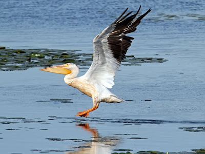 American White Pelican