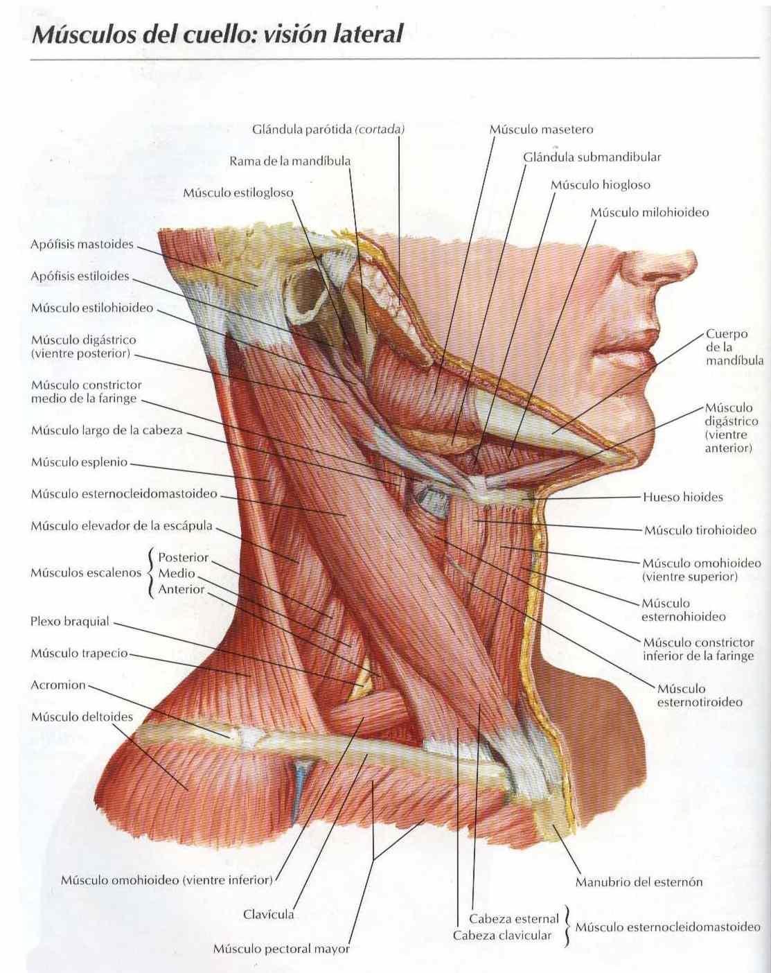 Atlas: Músculos del cuello visión lateral