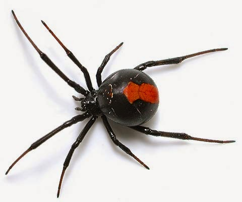 Live in Australia? What does a reback spider look like.