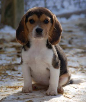 Beagle puppies pictures puppy picture and information beagles puppies picture voltagebd Choice Image