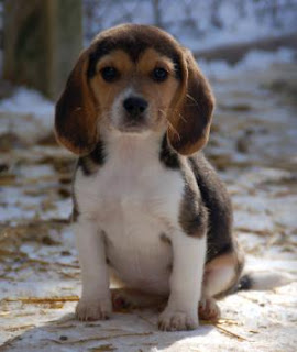 Beagles Puppies Picture