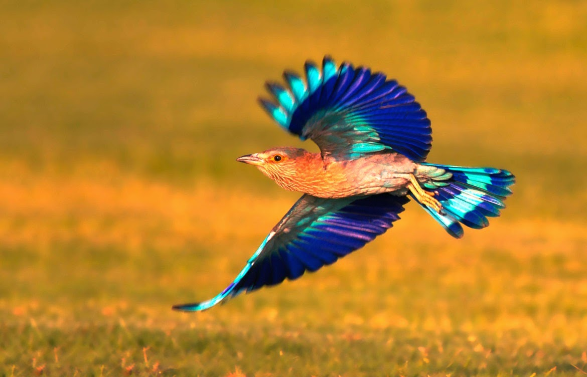 Mindblowing planet earth indian roller bird the indian roller has been selected as the state bird by the indian states of bihar andhra pradesh telangana karnataka and odisha sciox Gallery