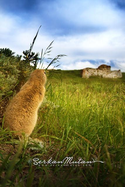 Gelengi-Anadolu Yersincabı, Spermophilus xanthoprymnus, Anatolian Souslik-Ground Squirrel