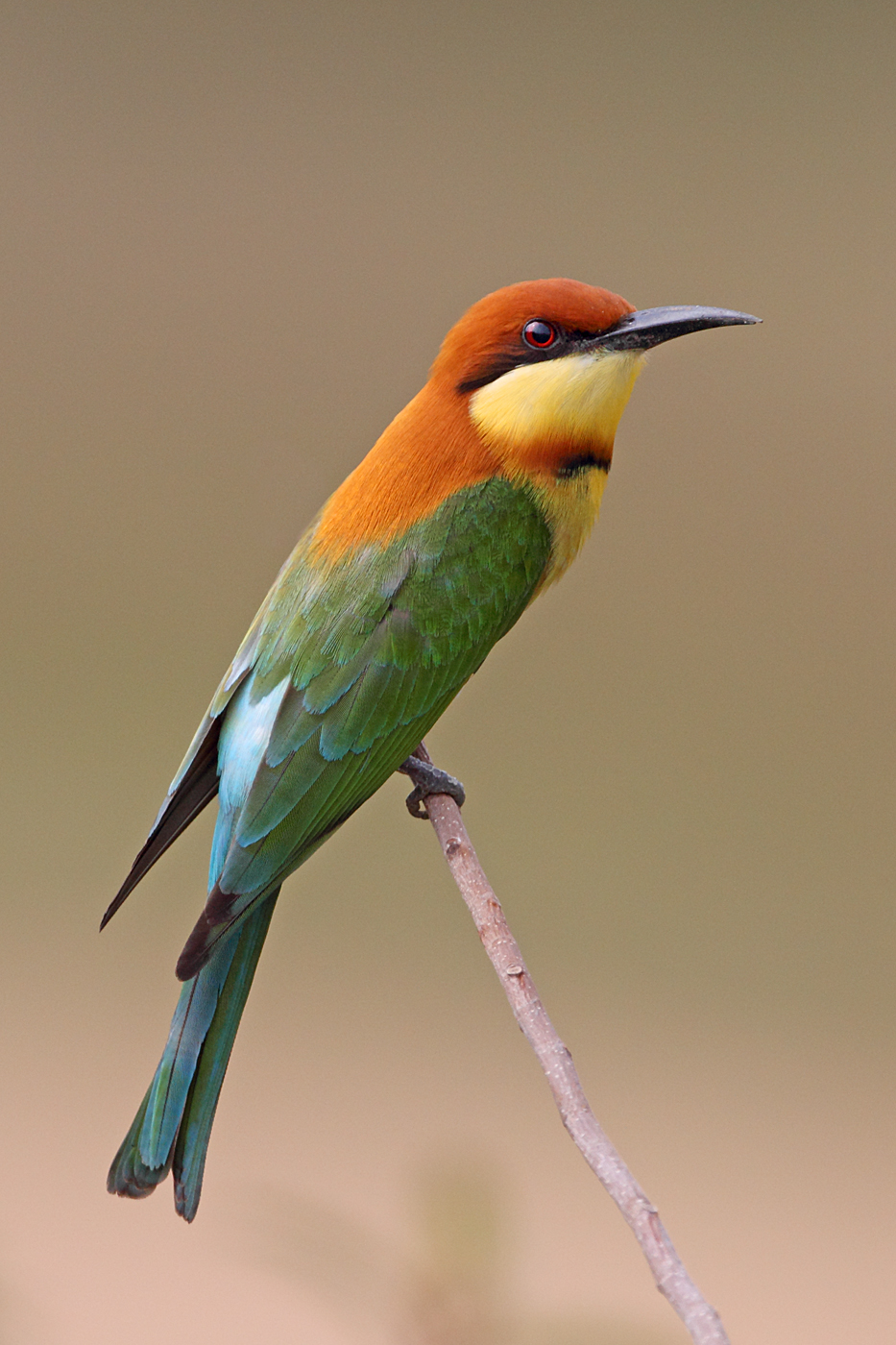 Chestnut-headed Bee-eaters nesting in Penang - photo#10