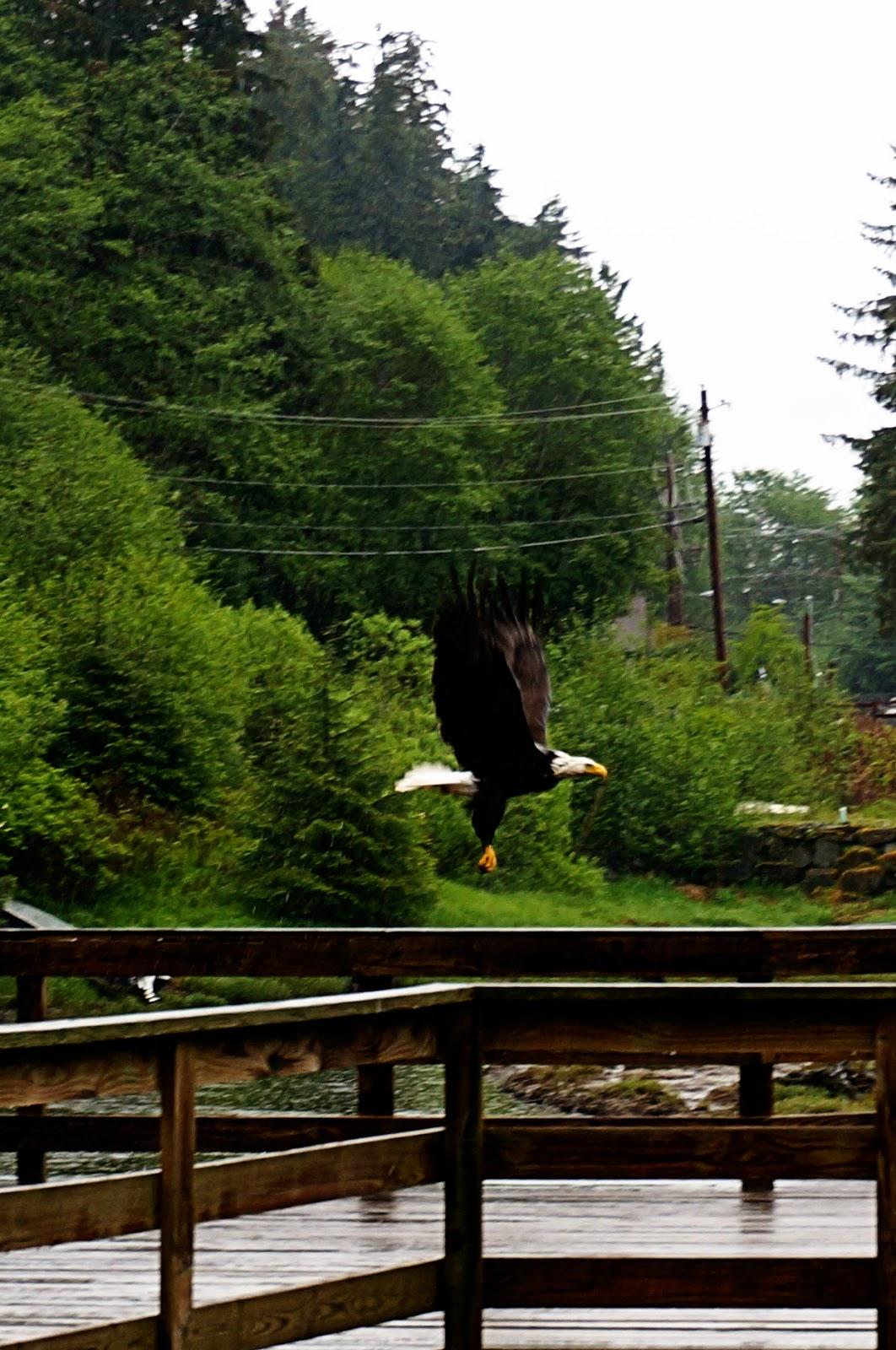 ketchikan eagle soaring alaskan cruise review