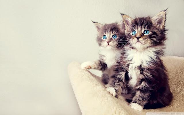 Hình ảnh mèo đẹp làm hình nền