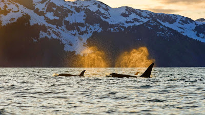 Orcas in Resurrection Bay near Kenai Fjords National Park, Alaska (© Steven Kazlowski/SuperStock) 58