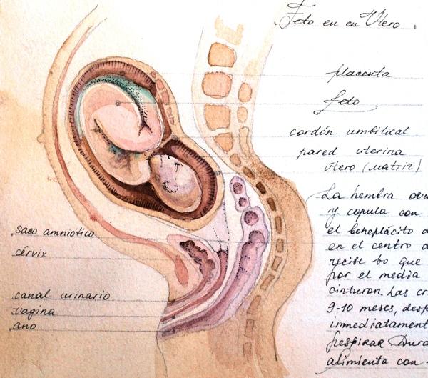 LA CIENCIA DE LA VIDA: Anatomia interna de una sirena 2