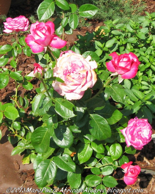 Pink 'n white roses