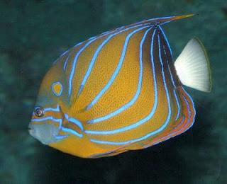 ikan hias laut