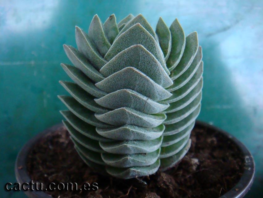 venta de cactus y suculentas  crassula cv  buddha u0026 39 s temple