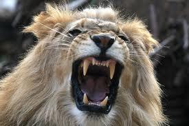 Male Lions roar