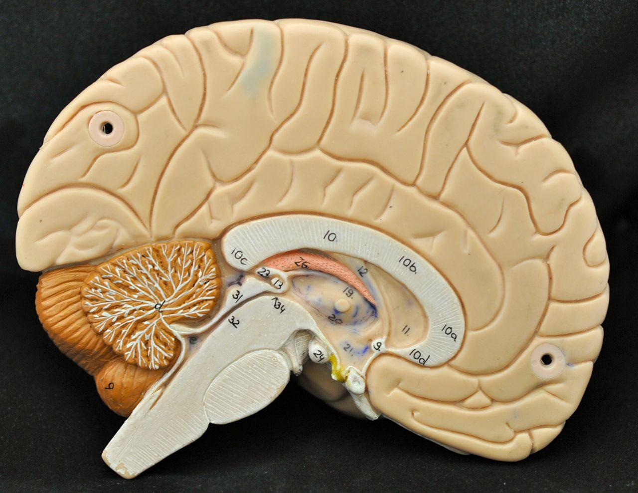 Human Anatomy Lab: Brain Models