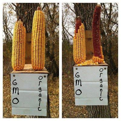 Even Bird Prefer Organic over GMO