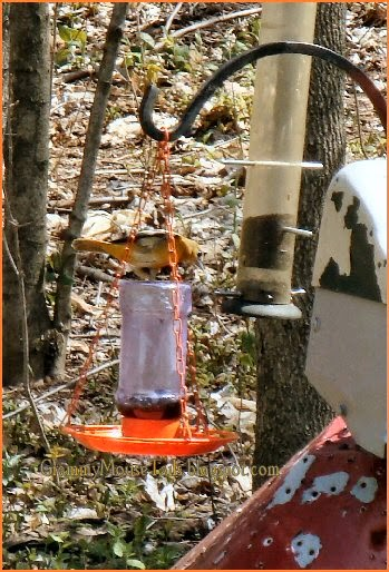 female oriole + jelly feeder image