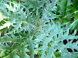 cardoon