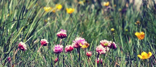 flori bucegi iunie 2013