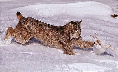 predator prey relationship in the taiga