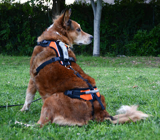 Brisbane models the Help 'Em Up mobility harness for dogs.
